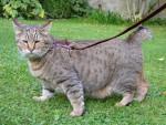 Chat pixie-bob du FarWest - Lynx Domestique (Pixie Bob)  (0 mois)
