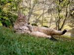 Chat pixie-bobs du FarWest - Lynx Domestique (Pixie Bob)  (0 mois)