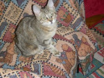 Chat Pixie-bob - Pixie Bob  (0 mois)