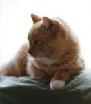 Chat Ginger - Manx Femelle (14 ans)