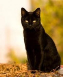 Chat Jack - Manx Mâle (13 ans)