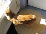 Chat Le Manx - Manx Femelle (0 mois)