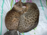 Chat amenophis rois soleil ocicat - Ocicat  (0 mois)