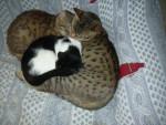 Chat fripouille, dream tiger syla et amenophis rois soleil ( ocicat) - Ocicat  (0 mois)