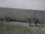 Chat amenophis et syla    ocicat - Ocicat  (0 mois)