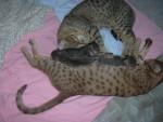 Chat famille ocicat - Ocicat  (0 mois)