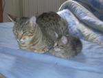 Chat Chatons Ocicat - Ocicat Femelle (0 mois)