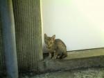 Chat Douaour femelle OCICAT - Ocicat Femelle (0 mois)