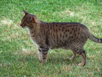 Chat Ocicat - Ocicat  (0 mois)