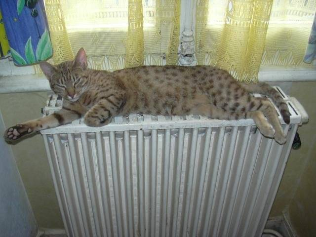 Chat dream tygers syla ( ocicat ) - Ocicat  (0 mois)