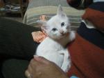 Chat  - Ojos Azules Femelle (0 mois)