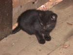 Chat Hunter - Oriental à poil court Femelle (2 mois)