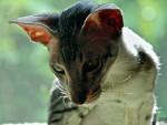 Chat Oriental shorthair - Oriental à poil court Femelle (0 mois)