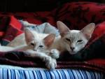 Chat Le Javanais - Oriental à poil court Femelle (0 mois)