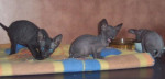 Chat Peterbald - Peterbald  (0 mois)