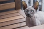 Chat Le Peterbald - Peterbald Femelle (0 mois)