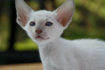 Chat Peterbald - Peterbald Femelle (0 mois)