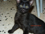 Chat SAVANNAH GOSTH F5 SBT - Savannah  (0 mois)