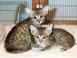 Chat Serengeti kittens - Serengeti Femelle (0 mois)