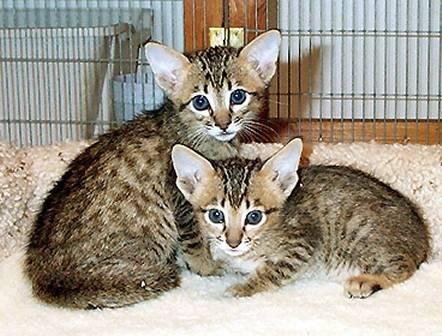 Chat Serengeti kittens - Serengeti  (0 mois)