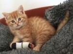 Chat Bonnie - Sibérien Femelle (10 mois)