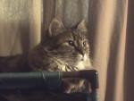 Chat Rumor - Sibérien Femelle (0 mois)
