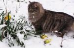 Chat Chat sibérien Kolyana Valmette - Sibérien  (0 mois)