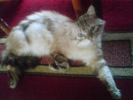 Chat Jerry, notre Sibérien Néva-Masquerade Brown Tabby. - Sibérien  (0 mois)