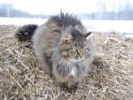 Chat Le chat sibérien - Sibérien Femelle (0 mois)