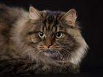 Chat Sibérien - Sibérien Femelle (0 mois)
