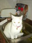 Chat Daisy - Sibérien Femelle (5 ans)