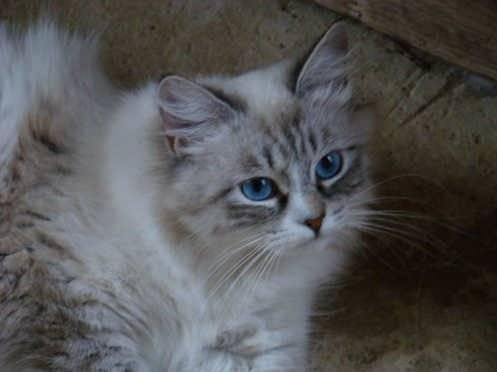Chat Chat sibérien, chat de Sibérie KOLYANA Baxa - Sibérien Femelle (0 mois)