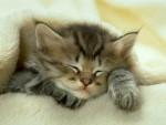 Chat Mystie bébé - Thaï Femelle (0 mois)