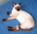 Chat Siamois-tha? (siamois ancien type ? t?te ronde) - Thaï Femelle (0 mois)