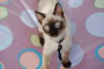 Chat Kitty - Thaï  (0 mois)