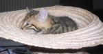 Chat Chanterelle - Thaï Femelle (7 mois)
