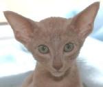 Chat belle - Thaï Femelle (1 mois)