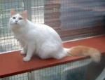 Chat Twiggy - Turc Van Femelle (3 ans)