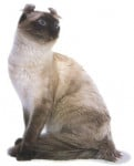 Chat American Curl - American curl  (0 mois)