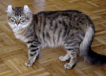 Chat L'American Curl - American curl Femelle (0 mois)
