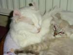 Chat Maman et filles - American curl Femelle (0 mois)