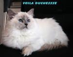 Chat RAGDOLL, Duchesse - Ragdoll  (0 mois)