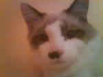 Chat Chaïli frère de Pepette Ragdoll - Ragdoll  (0 mois)