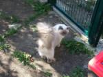 Chat vanille, ragdoll - Ragdoll  (0 mois)