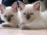 Chat Le Ragdoll - Ragdoll Femelle (0 mois)