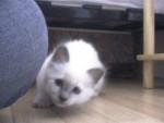 Chat À la chasse - Ragdoll  (0 mois)