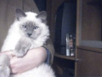 Chat Shadow a maintenant presque 4 mois - Ragdoll Femelle (0 mois)