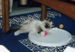 Chat Roxane à 2 mois, le bonheur !! - Ragdoll  (2 mois)