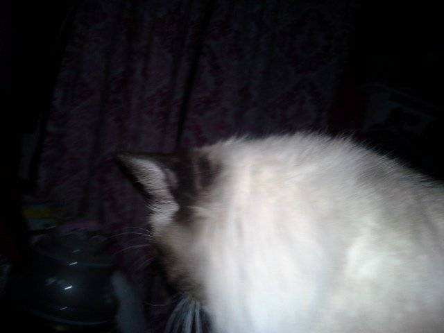 Chat mocha - Ragdoll Femelle (2 ans)