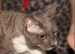 Chat Amulette - Ural rex Femelle (0 mois)